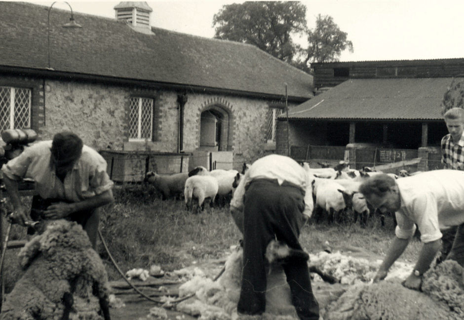 Sheep shearing in the old courtyard in the 1960s