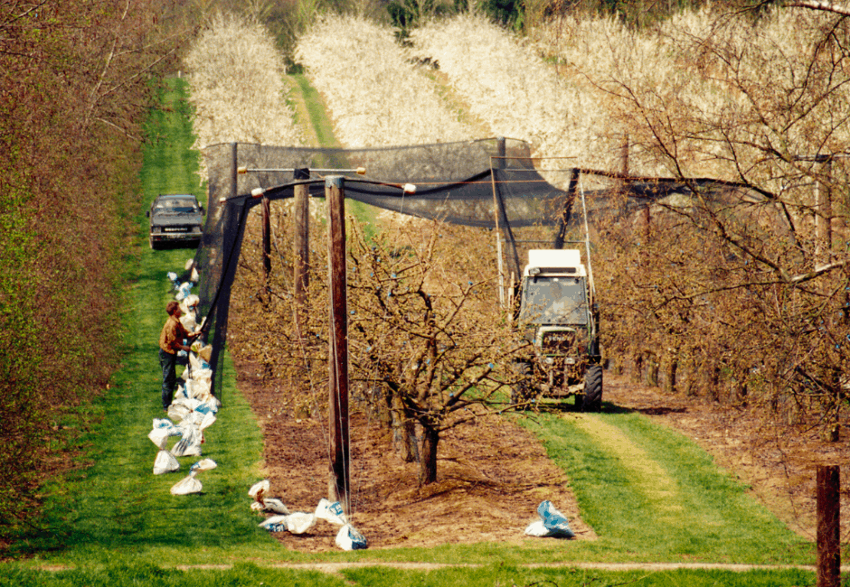 Netting the cherry trees to protect them from the birds, and plum blossom in the background.