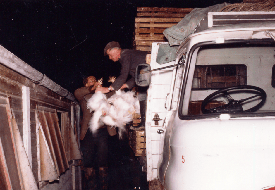 Loading up the broiler chickens