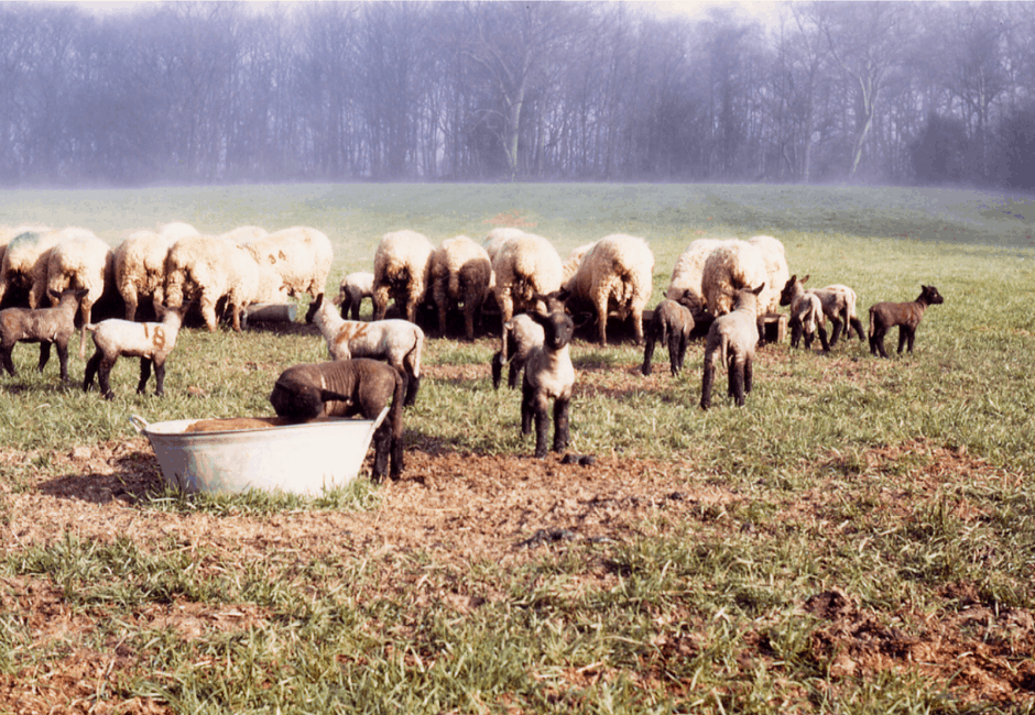 Lambing in the 1960s