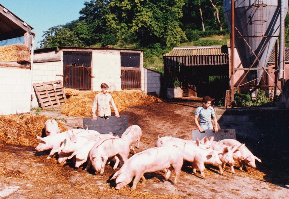 One of the last batches of bacon pigs, about to be loaded onto the lorry to slaughter.