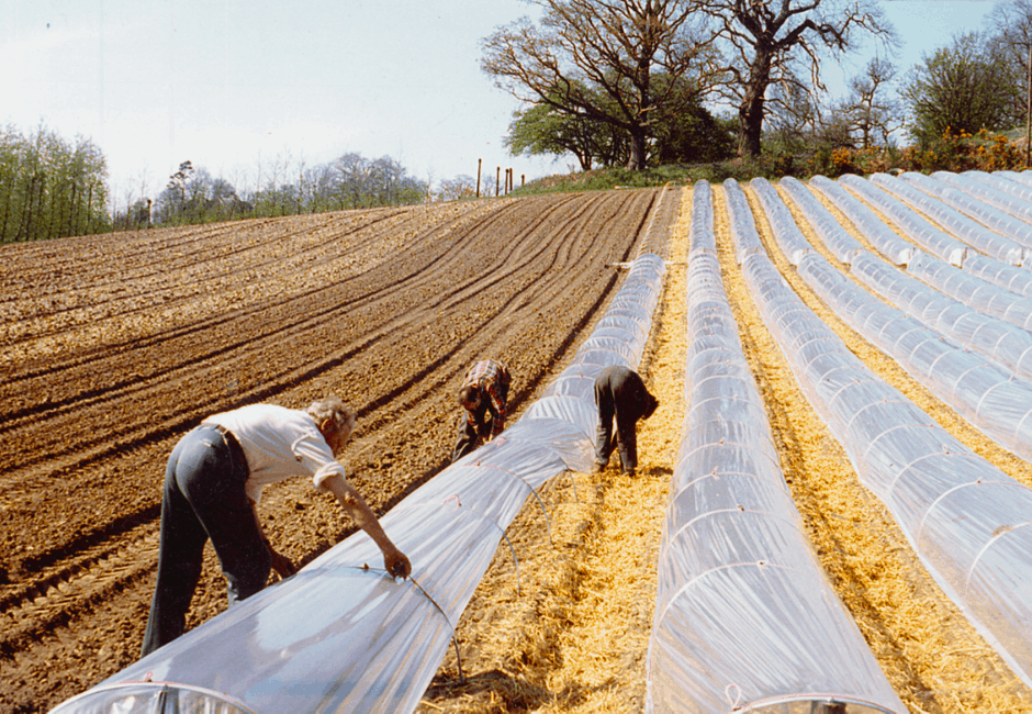 Protecting runner beans with polythene tunnels, in the spring of 1994.