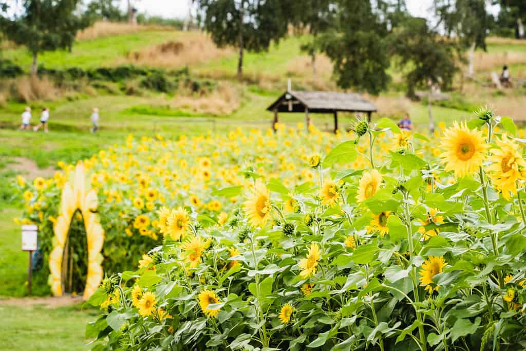 Visit the sunflowers at Priory Farm