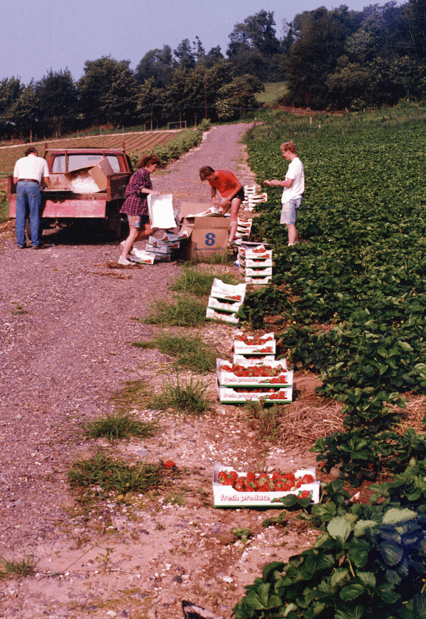 For a few years in the early 90s, we also picked strawberries to sell to the wholesale market.